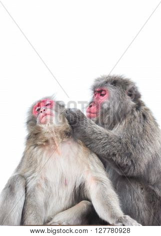 Japanese macaque tending each other isolated on white background