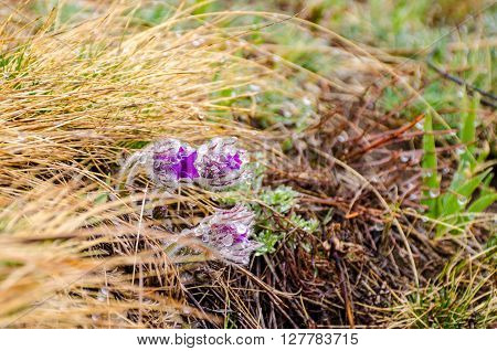 Pasque flowers Pulsatilla patens in water drops