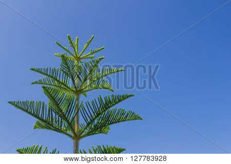 Closeup Of Nolfolk Island Pine Leaves
