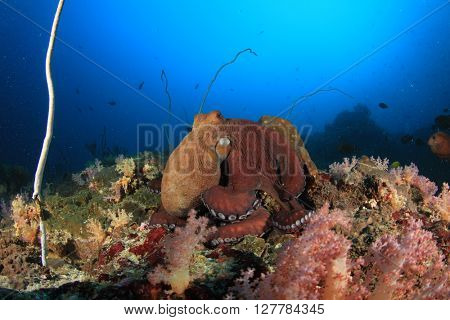 Octopus on coral reef in ocean