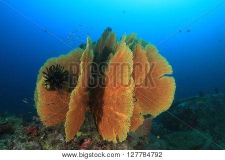 Gorgonian Fan Coral on ocean reef