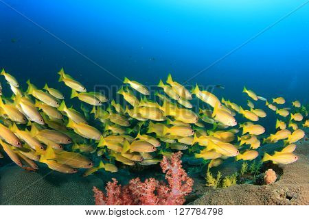Yellow Snappers fish and blue ocean
