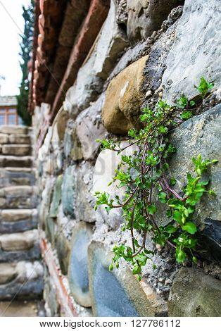 green grass growth thru old rock wall