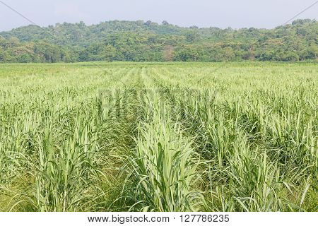 Sugarcane as early growth field in rural