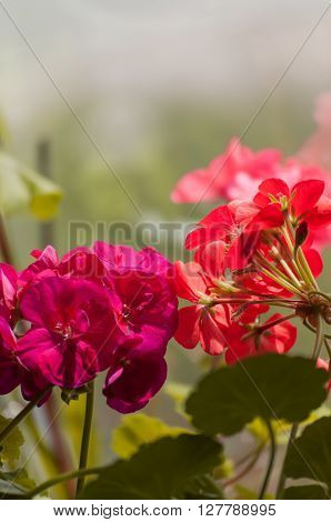 Geraniums in the beautiful garden, filmed in close-up ** Note: Soft Focus at 100%, best at smaller sizes
