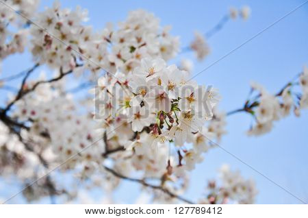 An image of Cheery blossom with blue sky background ** Note: Shallow depth of field