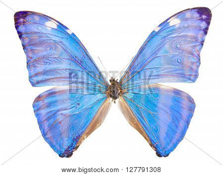 Morpho adonis ice blue butterfly isolated on white background