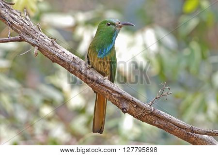 Blue-bearded Bee-eater Nyctyornis athertoni Birds of Thailand