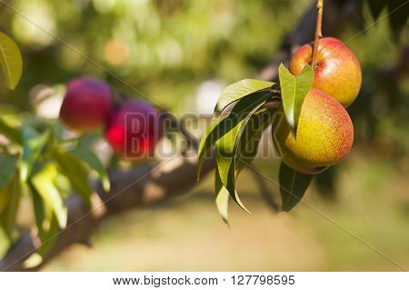 Apples And Peaches On Their Branches