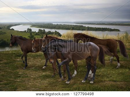 herd of horses grazing freely in the open at the bend of the Russian Kama River