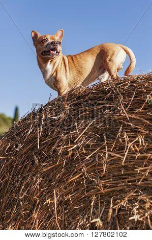 lively beige Puppy on big hay bale