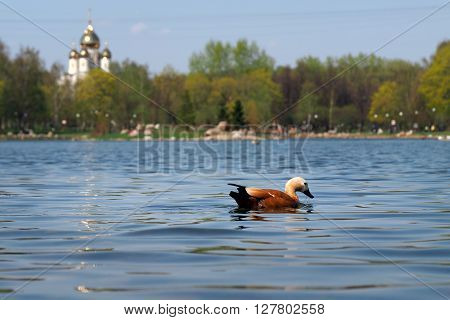A duck swims in the pond. Pond in the city. Background - trees, temple, blue sky. Calm, rest in the city, the serenity. Redhead Duck