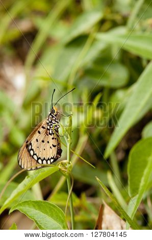 Tawny Coster butterfly is on a plant
