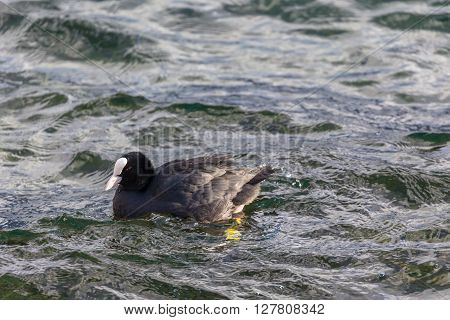 Eurasian Coot Swimming In The Lake
