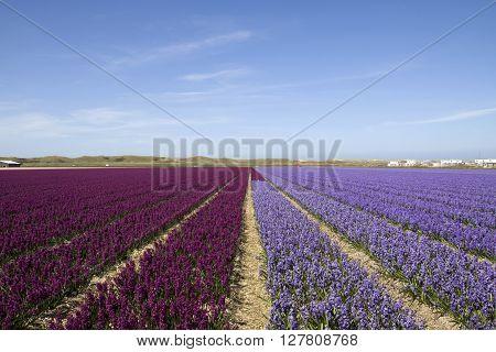 Purple  hyacint field in a row