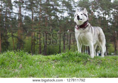 Siberian husky on a walk in the park. Pine forest in the background. Dog stands on the lush green grass.