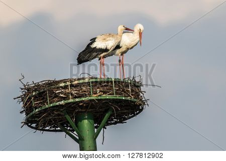 A couple of white stork in the nest