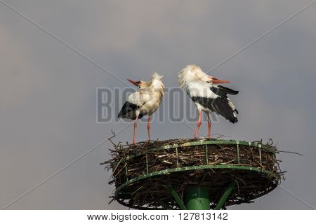 A couple of white storks in the nest