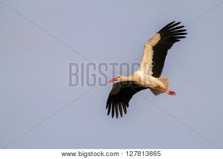 A white stork is in the flight
