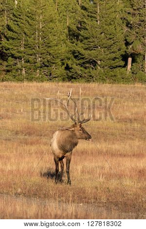 a bull elk in meadow during the fall rut