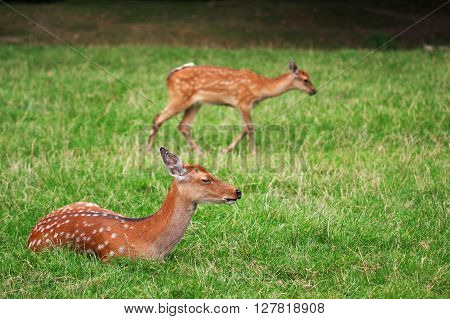 The Cute Brown Roe Deers Relax In The Green Grass