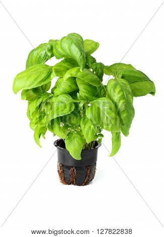 Fresh basil in pot isolated on white background.