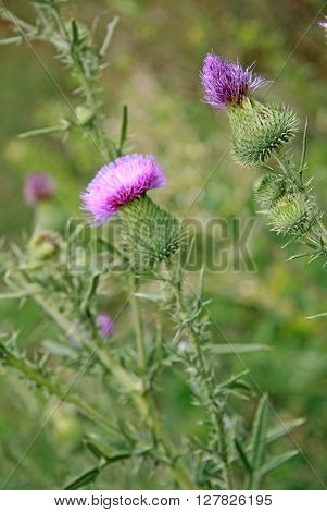 Flowers of arctium lappa commonly called greater burdock