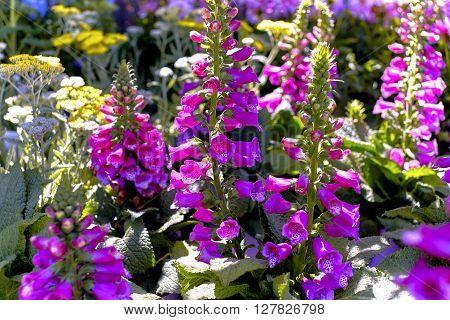 Pink Foxglove Flowers in a Flower Garden