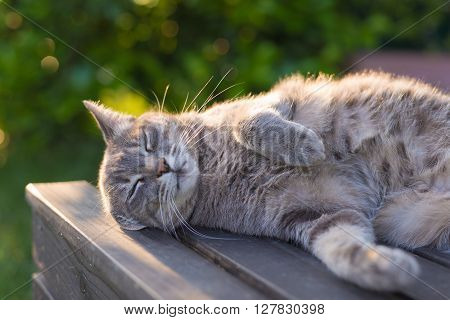 Playful domestic cat lying on wooden bench with bent paws. Shot in backlight at sunset. Very shallow depth of field focused on snout.