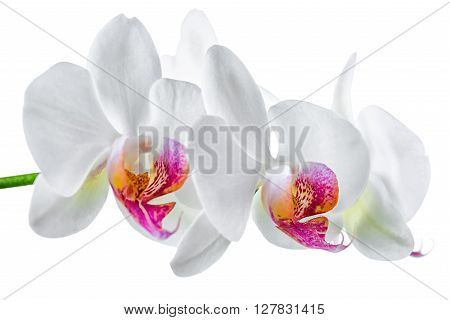 Blooming Twig Of White With Red Orchid Is Isolated On Background, Close Up