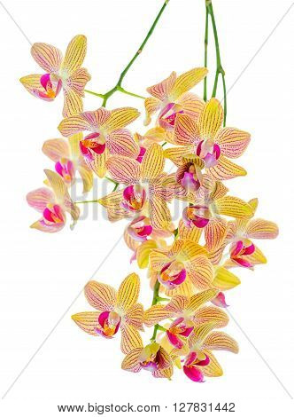 Blooming Twig Of Orange Striped Orchid, Phalaenopsis Is Isolated On White Background