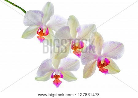 Blooming Twig Of Orange Striped Orchid, Phalaenopsis Is Isolated On White Background, Close Up