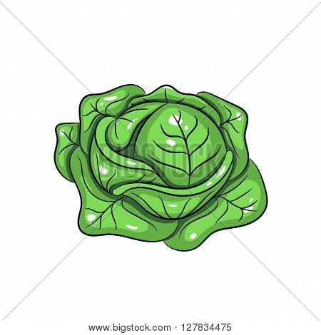 Vector cabbage illustration. Cabbage isolated on white background. Vector sketch hand drawn - stock vector