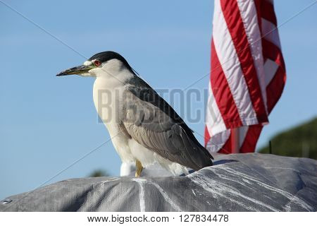 Night heron perched on a boat in front of an American flag.  Perfect for Veterans Day and Memorial Day. ** Note: Soft Focus at 100%, best at smaller sizes