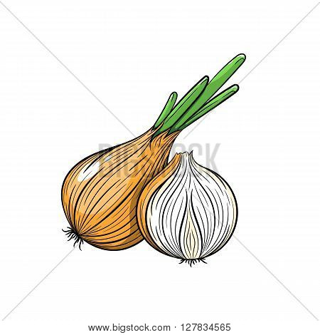 Vector onion illustration. Slice of onion, onion isolated on white background. Vector sketch hand drawn - stock vector