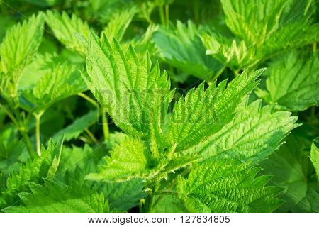 The bush of young stinging nettle, which is used in alternative medicine