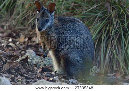 kangaroo is standing on Kangaroo island in Australia
