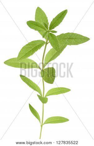Lemon grass (verbena) isolated on white background
