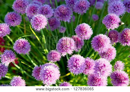 Beautiful Chive Flowers .Chive plants in full bloom.  Closeup with shallow dof.  Selective focus on closest blossom.