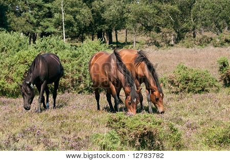 Three Ponies Grazing On New Forest