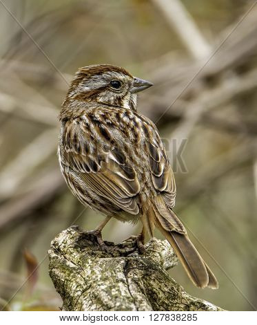 A neatly patterned Song Sparrow perches on a broken branch as it surveys its surroundings.
