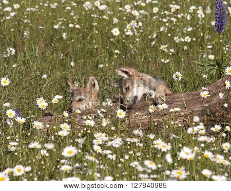 Wolf Pups Litter mates Playing in Daisies