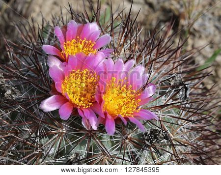 Hedgehog Cactus (Pediocactus nigrispinus) in Full Bloom