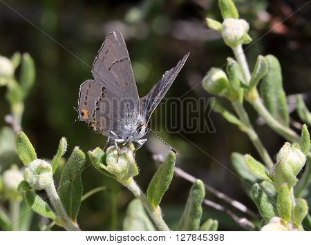 Gray Hairstreak Butterfly (Strymon melinus) on Buckwheat