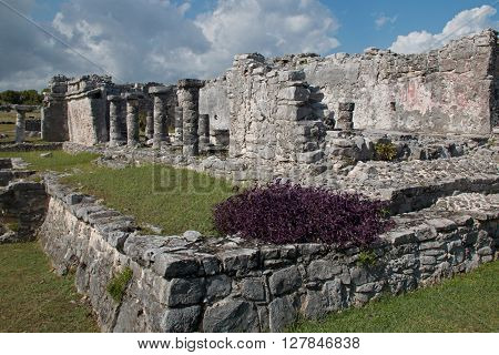 Purpurea plant on corner of Tulum Mexico Mayan Ruins - House of the Columns
