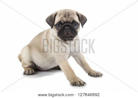 Small Puppy Pug Sitting