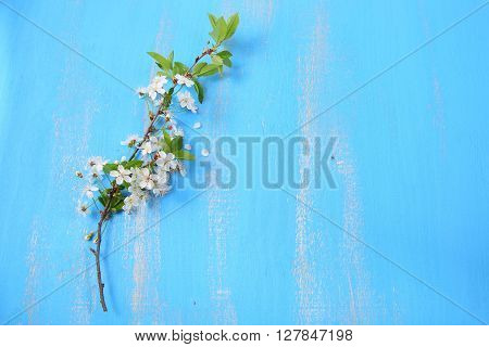 Flowers of cherry on a blue wooden background