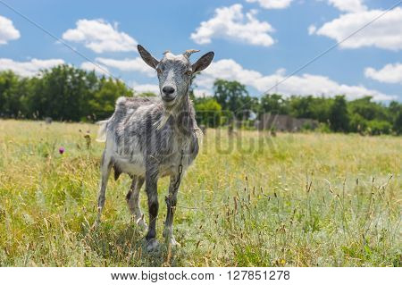 Young goat on a summer pasture looking with interest