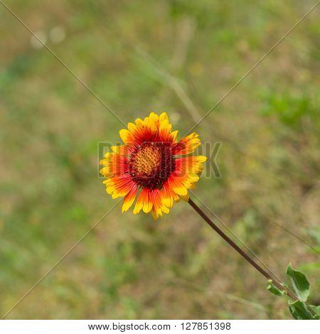 Feral Indian blanket flower in wild field