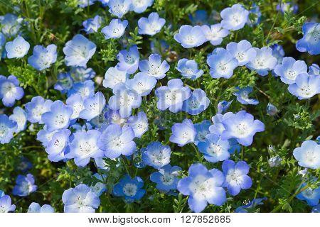 Field of Nemophila, or baby blue eyes (Nemophila menziesii, California bluebell), in soft light and shadow.